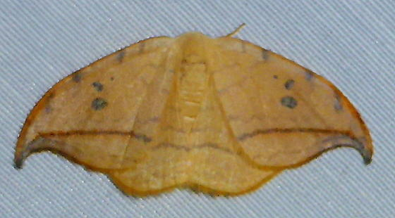 6251     Arched Hooktip     (Drepana arcuata) - Drepana arcuata
