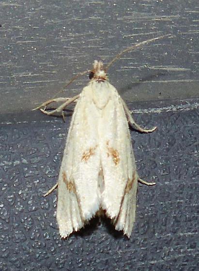 Pelochrista biplagata