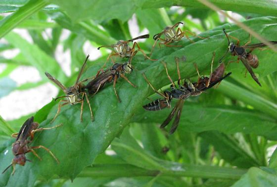 Curious Polistes behavior - Polistes fuscatus - male