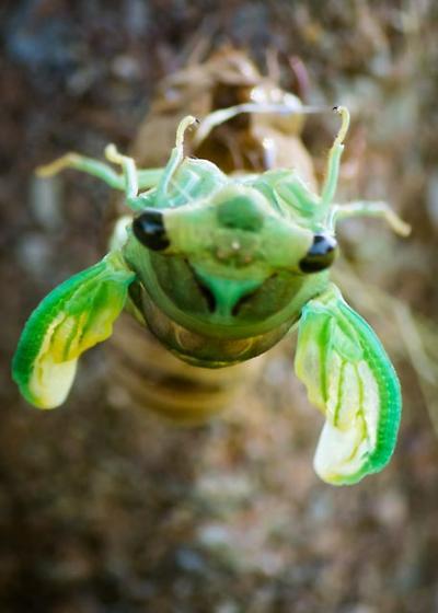 UPDATED:  Swamp cicada (Tibicen tibicen) - Neotibicen tibicen
