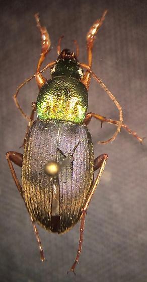 Chlaenius emarginatus - male