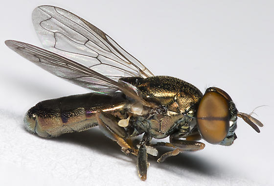 Syrphid Fly - Orthonevra - male