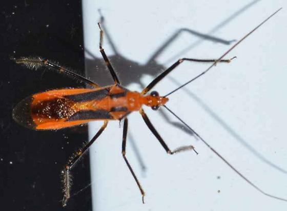 Hemiptera - Repipta taurus