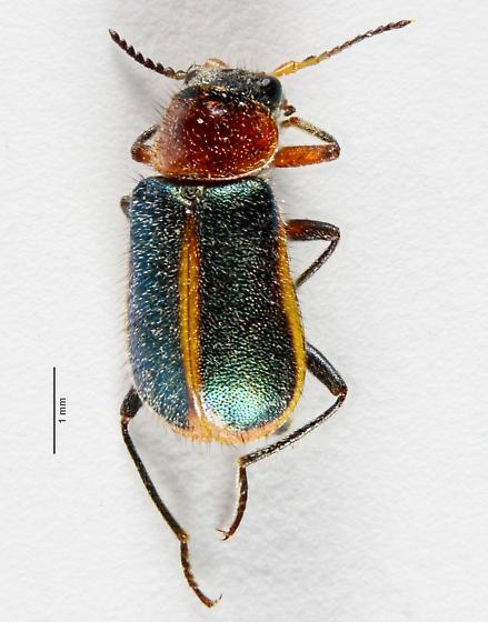 Malachiini? - Collops limbellus - female