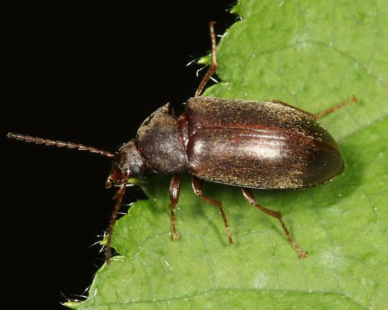 Darkling Beetle - Isomira