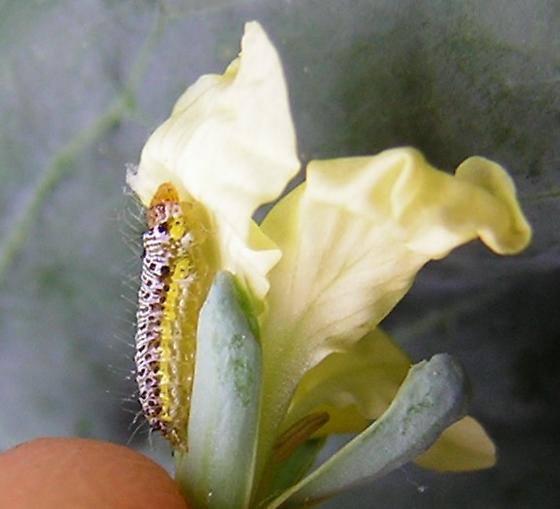 Cabbageworm camouflage: flower - Evergestis rimosalis