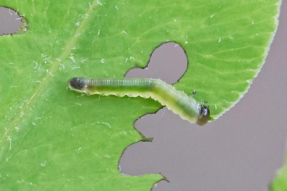 common sawfly - Thrinax dubitata