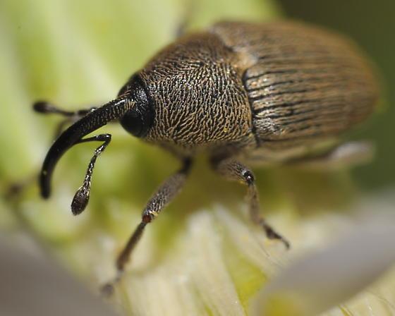 Weevil head - Geraeus picumnus