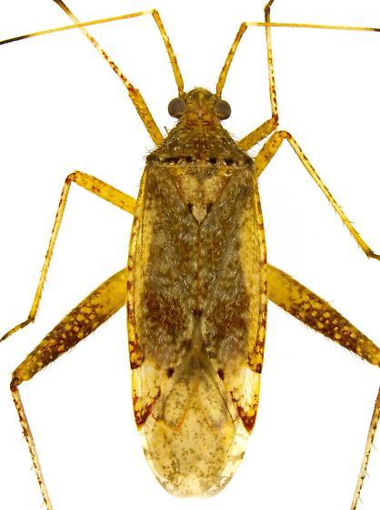 Female, Phytocoris? - Phytocoris - female