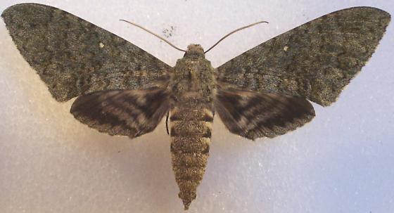 Manduca muscosa - female