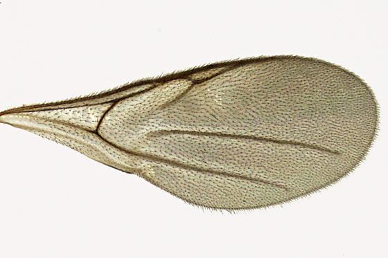 Diapriidae - Belyta