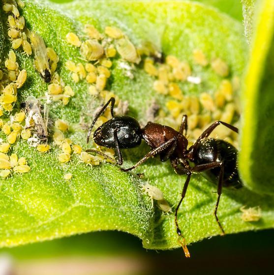 Aphids and Ant - Camponotus novaeboracensis - female