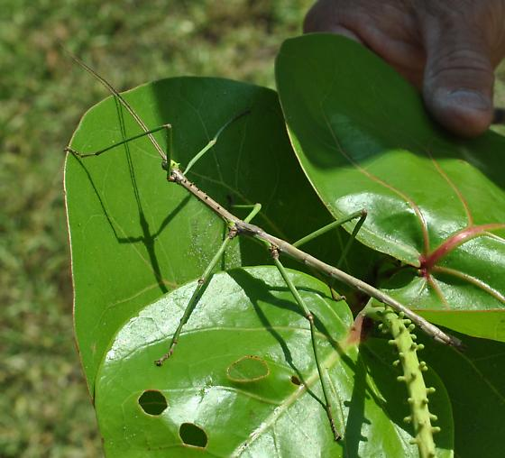 Mayer's Walkingstick (Haplopus mayeri) - Haplopus scabricollis - male