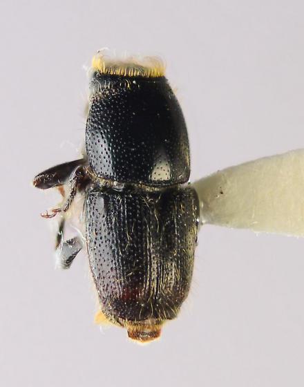 S. quadrispinosus? - Scolytus muticus