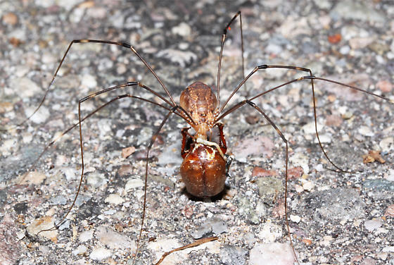 Harvestman with large prey item