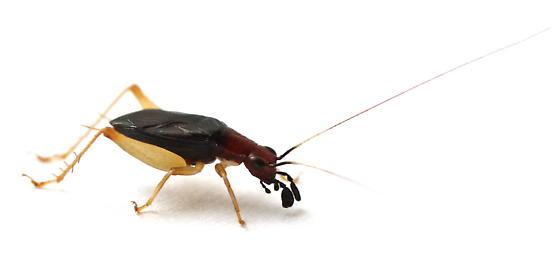 Phyllopalpus pulchellus - male