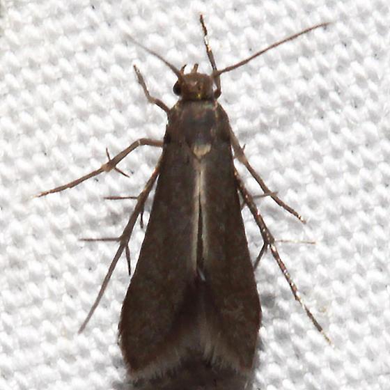 Schreckensteinia erythriella