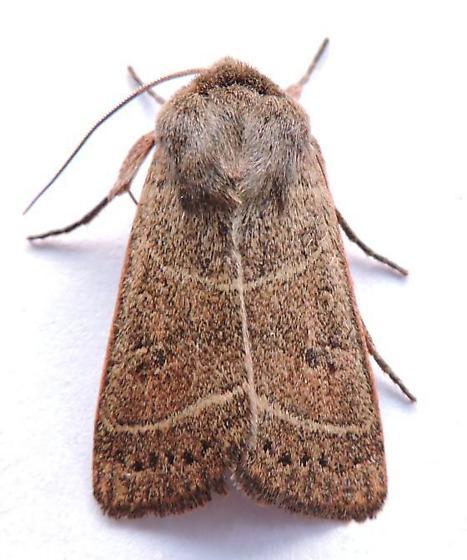 Pennsylvania Moth - Ulolonche culea