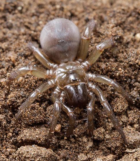 Aliatypus californicus - female