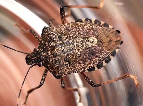 brown marmorated stink bug - Halyomorpha halys - male