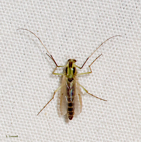 Midge from the BG Gathering - Chironomus - female