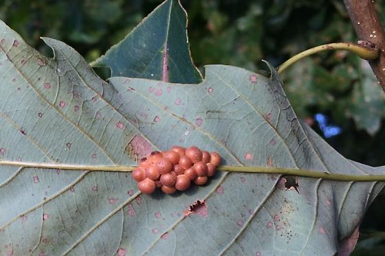 Clustered midrib gall wasp? - Andricus dimorphus