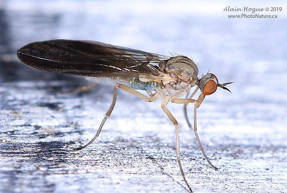 Rhamphomyia