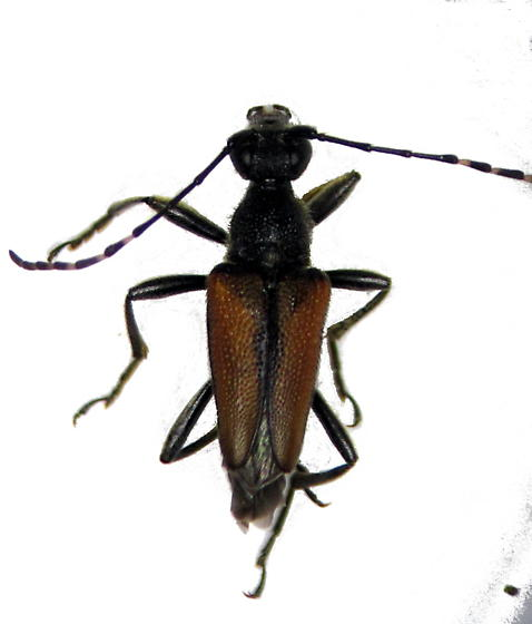 Brachyleptura champlaini - male
