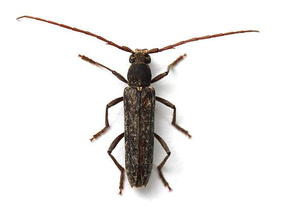 Anelaphus villosus
