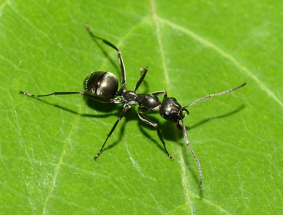 big black ant - photo #23