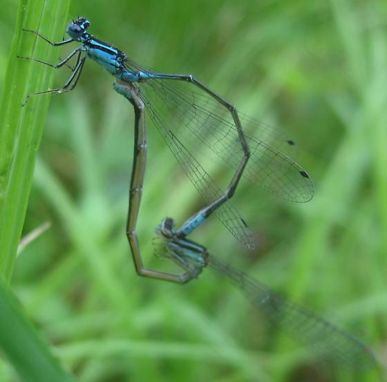 Mating Turquoise Bluets - Enallagma divagans - male - female