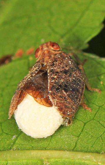 Hopper with Planthopper Parasite Moth? - Thionia