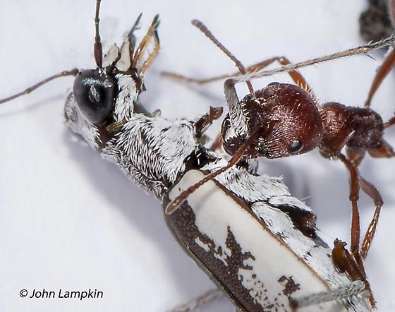Ant ID request - with Tiger Beetle Prey - Pogonomyrmex badius