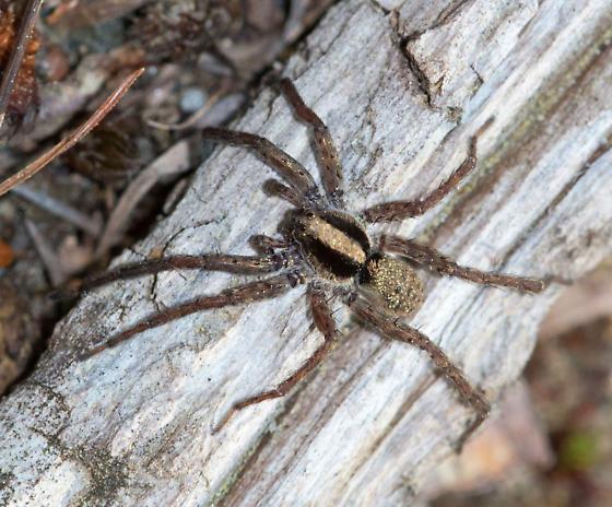 Eastern Parson Spider? - Schizocosa