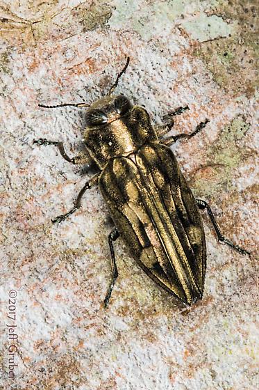Buprestid - Chrysobothris acutipennis