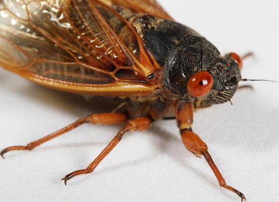Brood XIX Periodical Cicada 2011 - Magicicada tredecassini - male