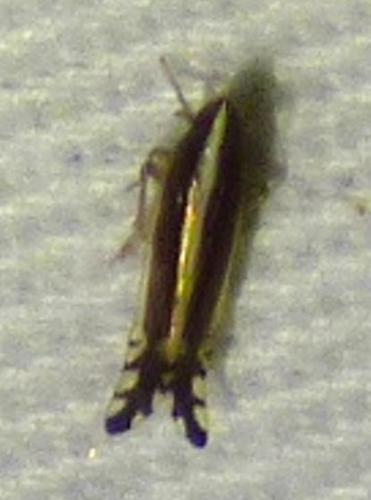 unknown insect - Stenocranus