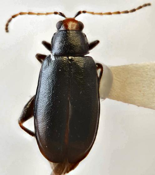 Red-headed Flea Beetle - Systena frontalis