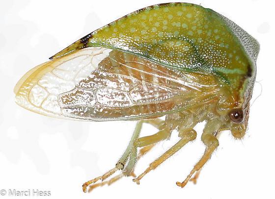Stictocephala taurina? - Stictocephala