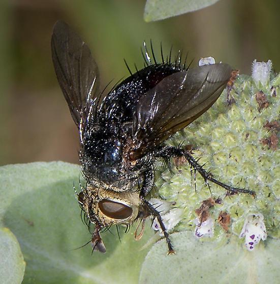 Archytas - Archytas metallicus - female