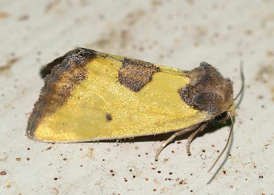 Moth - Stiria sulphurea