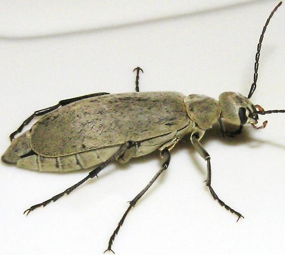 Gray Blister Beetle - Epicauta immaculata - BugGuide Net