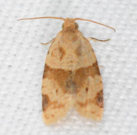 Clepsis peritana - Garden Tortrix - Clepsis peritana