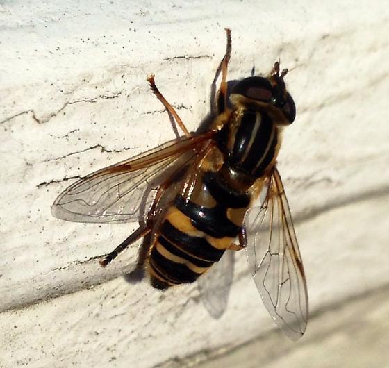 Syrphidae? - Helophilus