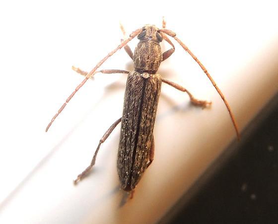 small longhorn beetle - Anelaphus parallelus