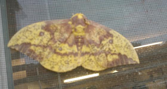 Imperial Moth - Eacles imperialis