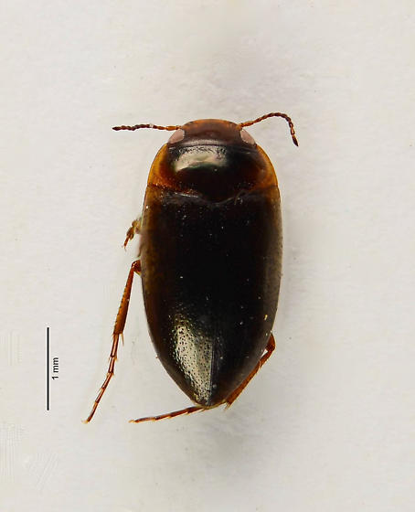 Dytiscid 3 - Hydrocolus - male