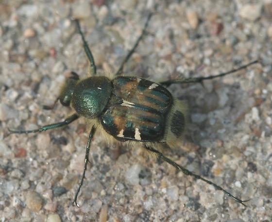 Trichiotinus affinis - Trichiotinus viridans
