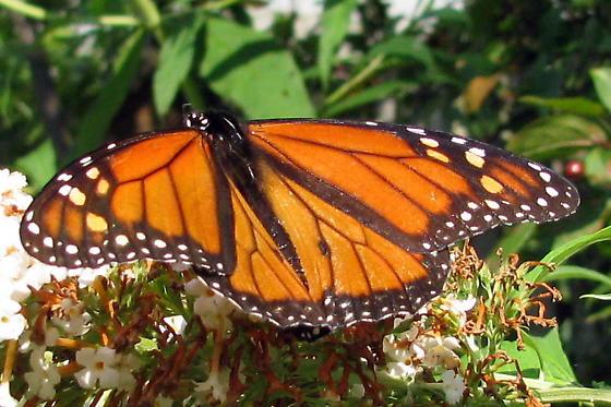 Species Danaus plexippus - Monarch - Hodges#4614  on buddleia - Danaus plexippus - male
