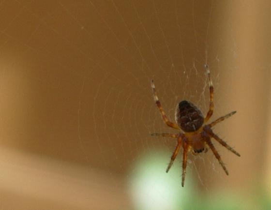 Neoscona?  - Araneus diadematus